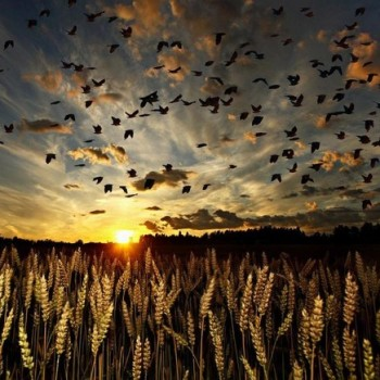 barley-birds-dawn-field-nature-Favim.com-324511