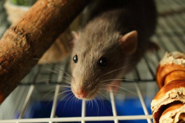 крыса в холодильнике
