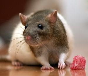 крыса ест мясо картинка