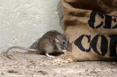 картинка дератизація економічні збитки від щурів