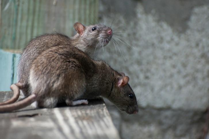 крысы в кафе ресторане картинка