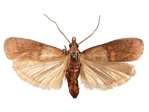 Південна комірна вогнівка (Plodia interpunctella Hb.)