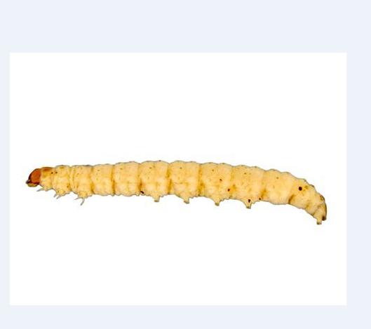 Шкідники сухофруктів: ТОП 3 найпоширеніші види вогнівок