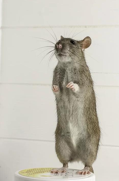10 фактів про гризунів. Дератизація. Знищення мишей та щурів