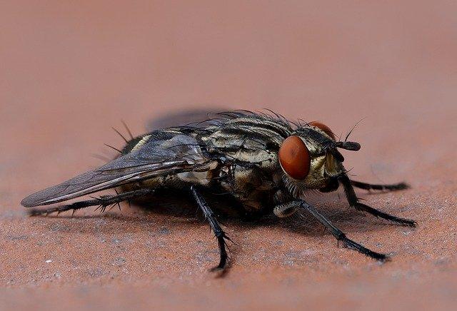 Цікаві факти про мух, інформація про мух